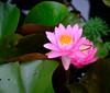 Water lily blooming (` Toshio ') Tags: toshio waterlily lilypad nature flower bloom dc washingtondc aquatic aquaticgardens kenilworthparkaquaticgardens garden pink petals leaves