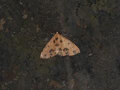 Corgatha semipardata (dhobern) Tags: 2018 china lepidoptera march xtbg xishuangbanna yunnan erebidae corgathasemipardata boletobiinae