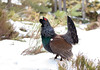 Capercaillie (Chas Moonie-Wild Photography) Tags: capercaillie winter scotland wild caledonian forest