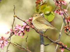 Mosquitero común (Elías Gomis) Tags: phylloscopus collybita mosquitero aves birds migración migration winter invierno eliasgomis ngc