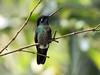 IMG_0698 Talamanca Hummingbird (suebmtl) Tags: bird birding hummingbird panama boquete fincalardia talamancahummingbird magnificent admirablehummingbird eugenesspectabilis chiriquiprovince chiriqui