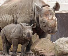 black rhino Mara and Naima Blijdorp BB2A8082 (j.a.kok) Tags: neushoorn rhino rhinoceros animal africa afrika zwarteneushoorn blackrhinoceros blackrhino puntlipneushoorn mara naima mammal zoogdier dier herbivore blijdorp