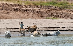 Young Cambodian boy tends his cattle at the Mekong Riverbank. (One more shot Rog) Tags: cambodis vietnam mekong mekongriver mekongdelta rivers river ship boat cattle cow cows herd bathing onemoreshotrog rogersargentwildlifephotography