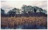 No Rush (peterphotographic) Tags: img024edwm norush olympus olympustrip olympustrip35 trip ©peterhall kodak ektar ektar100 scanned film analog filmcompact compact hollowponds wanstead snaresbrook walthamstow eppingforest eastlondon london england uk britain water lake pond tree rush rushes