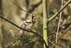 Brambling (Prank F) Tags: rspb thelodge sandy bedfordshireuk wildlife nature bird brambling