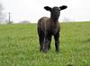 Spring lamb (Dun.can) Tags: rutlandwater rutland hambleton spring sheep lamb