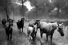 Freedom (.Guillermo.) Tags: caballos horses horse bw blackandwhite blancoynegro tree arbol campo nikon nature naturaleza animal