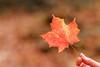 IMG_3879_Smoky Mountains (Alex Hsieh (椰子人)) Tags: ç´è² smokymountains smokymountainsnationalpark greatsmokymountains nationalpark 2016 fall fallfoliage autumn autumnfoliage travel tennessee northcarolina tn usa canon canon6d 6d