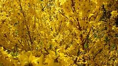 Fill the frame -7DWF (YᗩSᗰIᘉᗴ HᗴᘉS +14 000 000 thx) Tags: filltheframe crazytuesdaytheme 7dwf flora flower spring hensyasmine