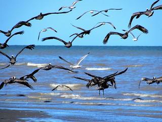 Pelicans & gulls