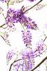 PhoTones Works #10037 (TAKUMA KIMURA) Tags: photones sony a7rm2 takuma kimura 木村 琢磨 風景 景色 自然 藤 landscape nature snap flower wisteria