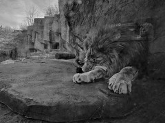 Nap (ancientlives) Tags: chicago illinois il usa lincolnpark lincolnparkzoo zoo lion africanlion thursday spring april 2018 sleep nap rest blackandwhite mono monochrome bw walking animals nature