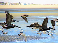 Quick takeoff (thomasgorman1) Tags: pelicans seagulls pelican seagull gulls flying wildlife canon lowtide water sand beach shore baja mx mexico nature