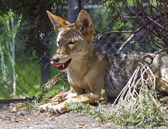 Akron Zoo 06-06-2014 - Coyote 11 (David441491) Tags: coyote canine akronzoo