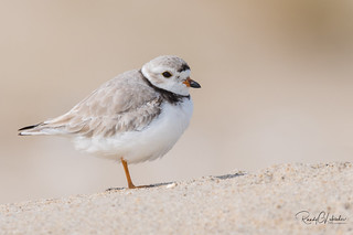 Piping Plover | 2018 - 3