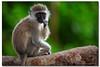Vervet Monkey (Baby) - Amboseli National Park (danishpm) Tags: floraandfauna africa amboseli monkey baby cute