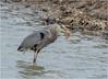 Spring Fishing (Summerside90) Tags: birds birdwatcher herons greatblueheron april spring fishing nature wildlife ontario canada
