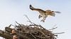 Claws Out For A Landing (John Kocijanski) Tags: osprey bird birdofprey raptor animal wildlife nature nest canon70300mmllens canon7d
