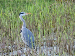 Heron (LouisaHocking) Tags: cardiff forest farm british heron bird nature wildlife