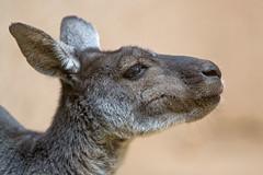 Kangaroo portrait (Tambako the Jaguar) Tags: kangaroo young marsupial mammal profile portrait cute basel zoo zolli switzerland nikon d5