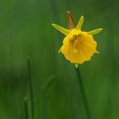 Paasbloempje (nikjanssen) Tags: geel groen bokeh paasbloem
