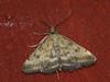 Pyrausta despicata - Straw-barred pearl (Cossus) Tags: 2010 crambidae pyrausta pyraustinae огнёвка пестово