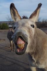 clarkdale burros (EllenJo) Tags: clarkdalearizona clarkdaleburros clarkdaleaz az arizona smalltownlife burros donkeys verdecanyonrailroaddepot ellenjo pentaxks1 march16 2018