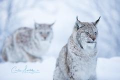 Lynx bokeh (CecilieSonstebyPhotography) Tags: catfamily portrait eurasianlynx lynx winter endangered closeup cat canon snow norway markiii gaupe langedrag canon5dmarkiii ef70200mmf28lisiiusm january bokeh specanimal specanimalphotooftheday ngc