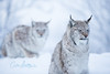 Lynx bokeh (CecilieSonstebyPhotography) Tags: catfamily portrait eurasianlynx lynx winter endangered closeup cat canon snow norway markiii gaupe langedrag canon5dmarkiii ef70200mmf28lisiiusm january bokeh specanimal