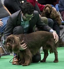 GAZ_1256 (garethdelhoy) Tags: dog sussex spaniel crufts 2018 kennel club