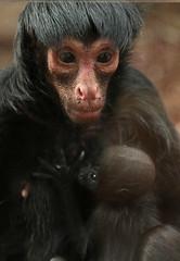 redfaced spidermonkey artis BB2A6664 (j.a.kok) Tags: mammal monkey artis animal aap zoogdier zuidamerika southamerica slingeraap roodgezichtslingeraap redfacedspidermonkey spidermonkey baby babymonkey moederenkind motherandchild
