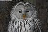 Ural Owl - Zoo Veldhoven (Mandenno photography) Tags: animal animals zoo zooveldhoven veldhoven ngc nederland netherlands nature owl owls oeral uil ural bird birds
