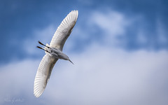 Angel Wings (Selkii's Photos) Tags: birds california casmerodiusalbus egret flight greategret lakeshorepark newark