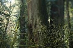 Lewis and Clark State Park (Tony Pulokas) Tags: lewisandclarkstatepark washington forest oldgrowth spring tree westernredcedar maple vinemaple moss tilt blur bokeh