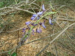 Purple/Lavender Wisteria. (dccradio) Tags: nc northcarolina outside outdoors ground flower floral flowers purple lavender vine plant branch branches sticks woods wooded brush harmonyhall harmonyhallplantation historic historical history museum park whiteoak bladencounty canon powershot elph 520hs