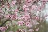 spring pink (gwuphd) Tags: vivitar 90180mm f45 flowers bokeh macro spring cherryblossom pink
