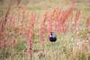 Lapwing in the Prairie (jeff_a_goldberg) Tags: chile lapwing nature bird torresdelpaine vanelluschilensis naturalhabitatadventures nathab southernlapwing torresdelpainenationalpark torresdepaine regióndemagallanesydelaan regióndemagallanesydelaantárticachilena cl wildlife