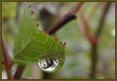 Perle de pluie (Armelle85) Tags: extérieur nature pluie goutte deau feuille reflat macro