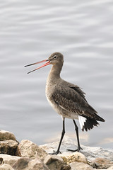 Something to say (M_squared Images) Tags: blacktailedgodwit limosalimosa msm1935 lancashire wwt martinmere