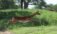 Please Excuse My Hurry ... (AnyMotion) Tags: impala schwarzfersenantilope aepycerosmelampus female antelope antilope ontherun 2018 anymotion tarangirenationalpark tanzania tansania africa afrika travel reisen animal animals tiere nature natur wildlife 7d2 canoneos7dmarkii