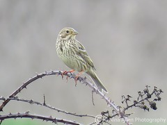 Corn bunting, East Lane Suffolk (nina1688) Tags: cornbunting bunting bird birds photographingbirds birdphotographer birdswildlifenature littlebird wildbird birdphotographing malebird smallbird britishbird photography photo photographer naturephotography naturephotograph photograph wildlifephotography naturephotographer birdphotograph lovethisphoto beautiful suffolk eastanglia springwatch spring april wildlife nature lovenature naturereserve