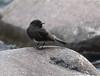 A87A8542 Black phoebe (steve.ray50) Tags: 2018 selvaverde costarica