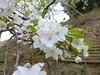 18o8868 (kimagurenote) Tags: 多摩森林科学園 tamaforestsciencegarden 桜 sakura cherry blossom prunus cerasus flower tree 東京都八王子市 hachiojitokyo