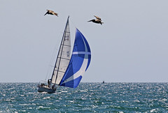 IMG_2529_SSW winds. (lada/photo) Tags: sailing gulfofmexico florida spinnaker ladaphoto flyingpelicans undersail