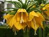 Kaiserkronen (Wolfgang Bazer) Tags: kaiserkrone kaiserkronen fritillaria imperialis crown imperial fritillary kaisers volksgarten blumen blossoms flowers wien vienna österreich austria