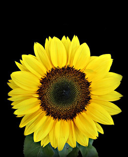 2018 Flickr Friday Sunflower Round Shapes