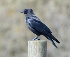Dungeness Crow