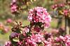 Cherry blossom Makamik at Brogdale (dyvroeth) Tags: cherry blossom makamik hanami faversham kent unitedkingdom gbr