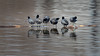 Coots-48484.jpg (Mully410 * Images) Tags: avian birding rail coonrapidsdam nationalpark birds birdwatching birder log bird mississippinationalriverrecreationarea coot