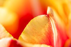 National Pride! (karindebruin) Tags: goereeoverflakkee nederland sommelsdijk thenetherlands tulips tulpen zonsondergang zuidholland sunset